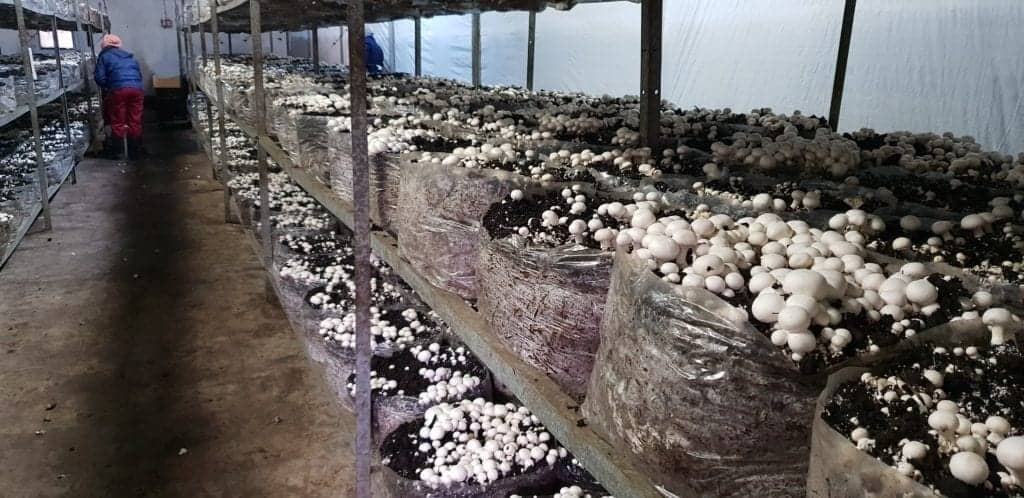 Mushroom farming is done indoors