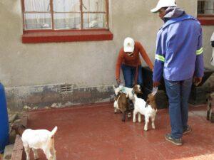 farm workers feeding goats
