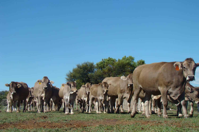 Kleinjan's cattle and calves on his farm
