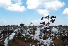 A single bale of cotton fibre can produce approximately 200 pairs of denim jeans or 670 T-shirts.