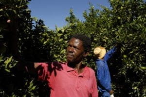 Fiecher Makae tests the oranges before picking. Northern Cape Province, 2008: VaalHarts Irrigation Scheme.