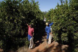 Orange pickers check for ripe fruit. Northern Cape Province, 2008: VaalHarts Irrigation Scheme.