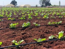 The Sernick Group has received funding from Absa Bank as it embarks on phase two of its developing farmers programme. Photo: Supplied/Food For Mzansi