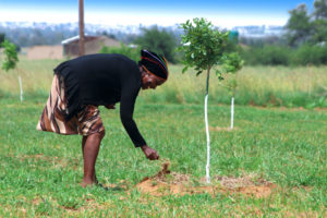Nxumalo removing weeds from one pecan nut tree.