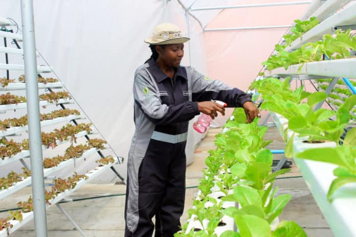 Sibongile Cele tending to her organic vegetables on one of her urban farming rooftop farms in Gauteng.