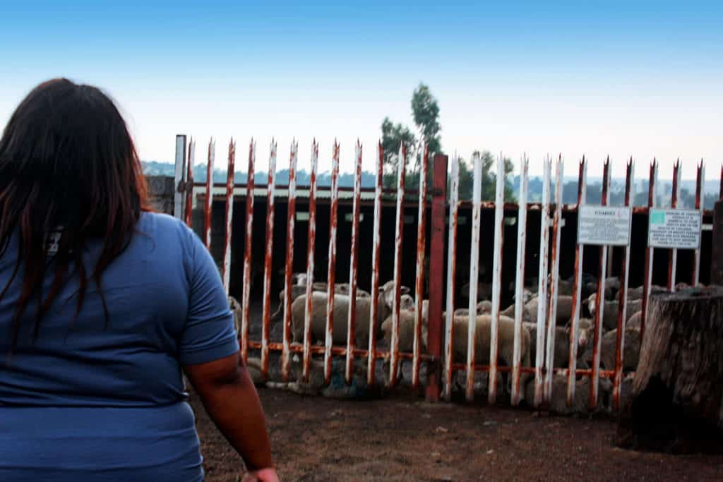 Senakhomo farms with merino sheep, that she is replacing 800 goats with, because the merino sheep grows faster and easy to maintain.