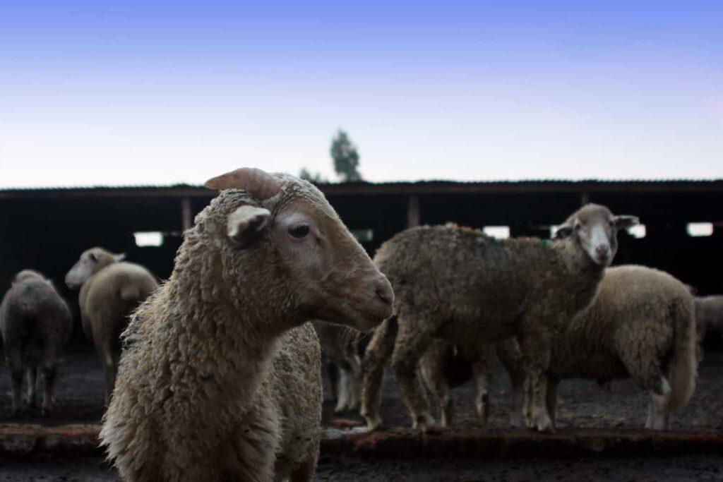 Merino goats in their kraal that Lerato Senakhomo has situated them to avoid animal cross breading