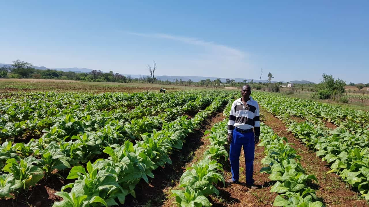 Small scale tobacco farmer in Hereford, close to Groblersdal, Limpopo. Photo: The Tobacco Institute of Southern Africa