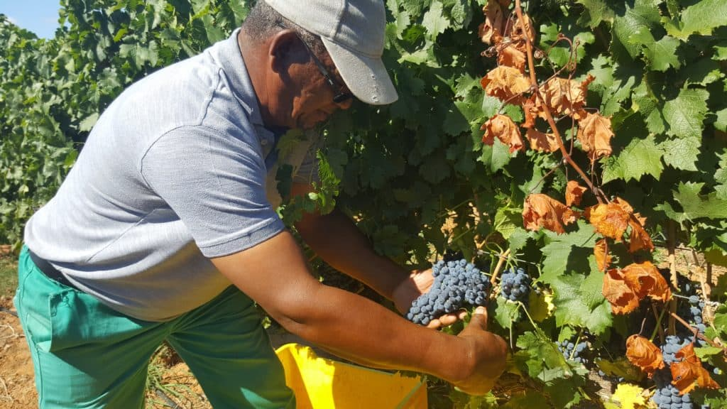 Stefaans May picking grapes on De Wetshof Farm in Robertson in the Western Cape.
