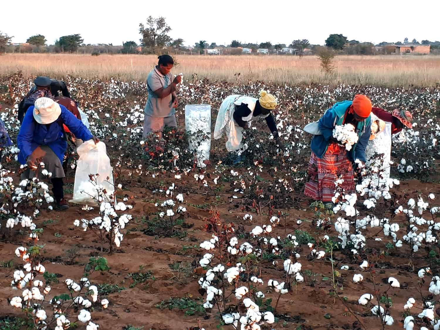 During the 2017/2018 season, five cotton projects involving 1 300 small farmers were supported as part of the Sustainable Cotton Cluster (SCC) programme.