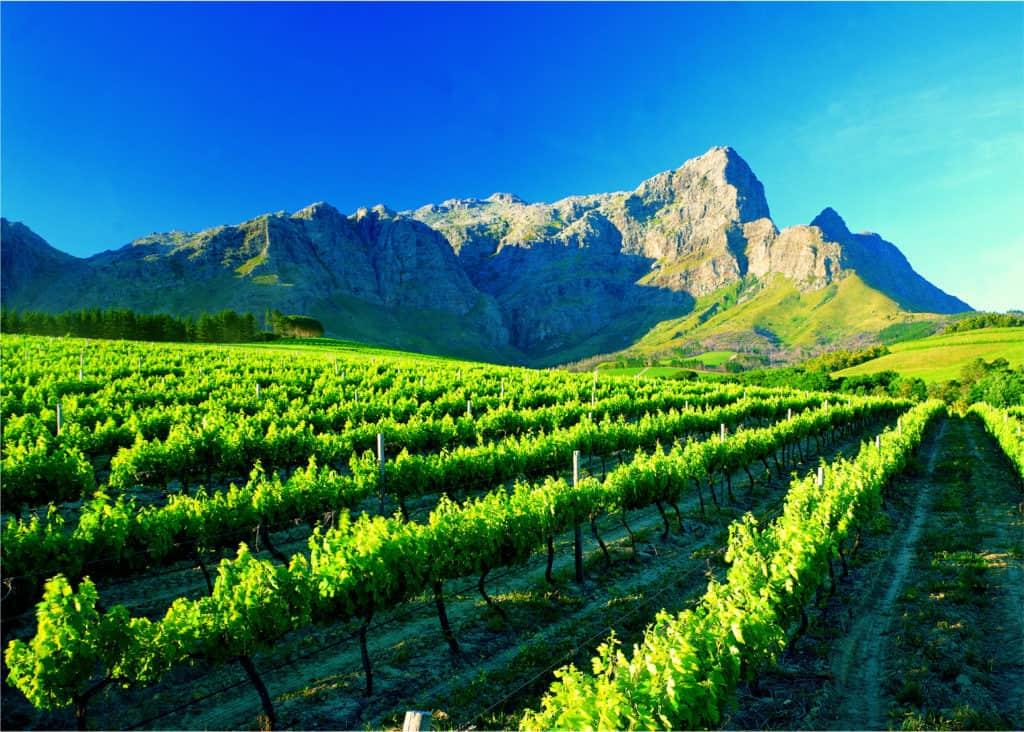 A vineyard near Franschhoek in the Western Cape.