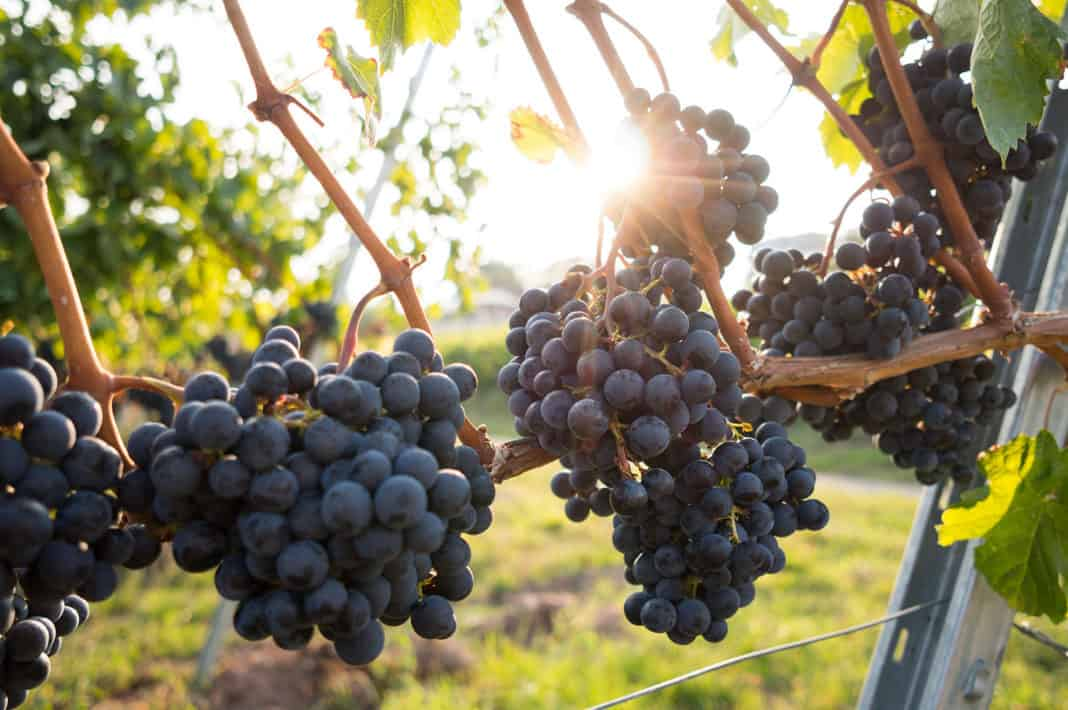 At this stage, 2021 wine crops appear to be on par with the previous season and the industry does not expect the 2019 numbers to surpass 2020 harvest volumes. Photo: Food For Mzansi