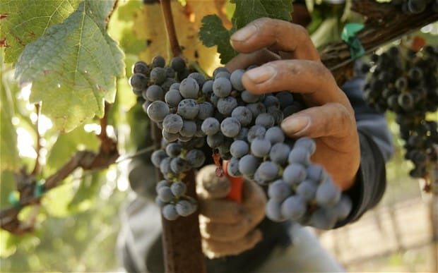SATI South African table grape forecast shows export volume could exceed previous season. Photo: Pexels.