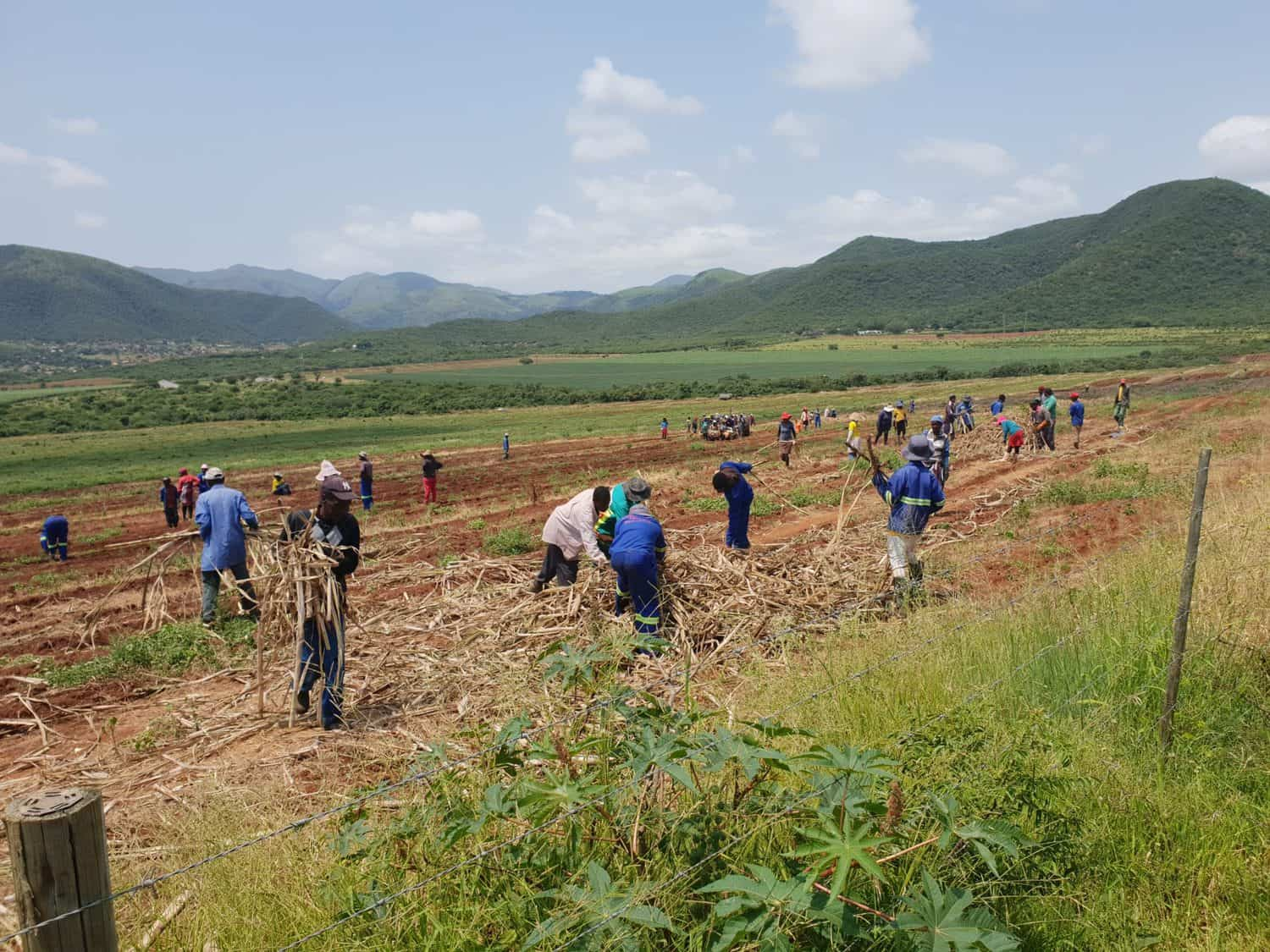 Cane farmers provide much needed employment opportunities in deep rural areas. If the import trend continues it could result in huge job losses.