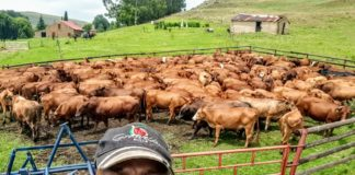 Nsika Shabalala manages the cattle farming department at Afrikan Farms in Mpumalanga.