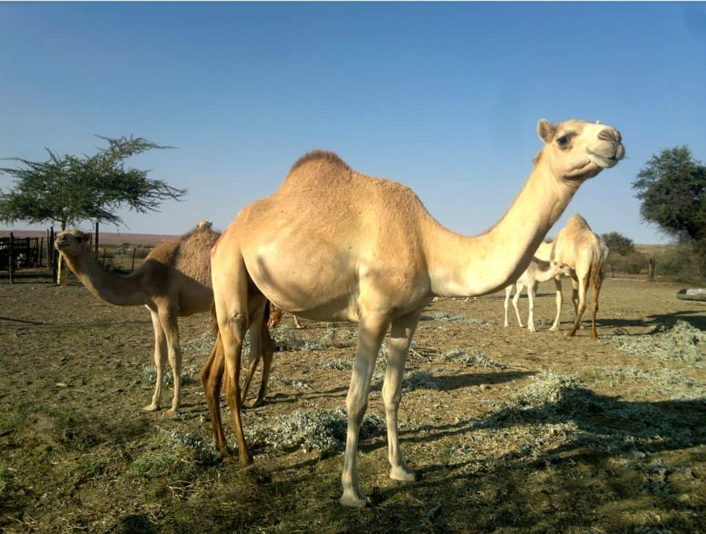 In 2015 a 47-year-old drought stricken sheep farmer, Hans Knoesen started seeing the wild camels on his farm as a potential asset and stared producing camel milk.