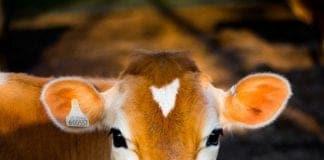 livestock, small-scale farmers