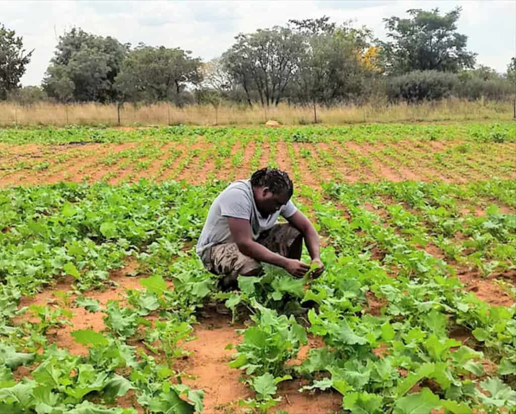 Pictured: Former investigative journalist for SABC and ETV tending to the indigenous food crops grown by the Ntirhisano Farmers' Cooperative.