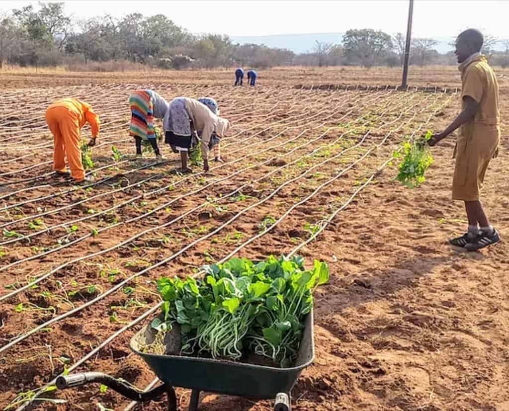 Ntirhisano Farmers' Cooperative farm with Chomoulier (also known as Covo Viscose or Rugare), Tshomalia (also known as giant grape), Muchina, Okra and other exotic vegetables.