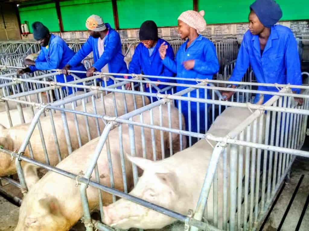 AgriSeta-accredited Temaretha Agriculture Training School owned by Mampe Mmeregi, trains learners and exposes them to various parts of pig farming.