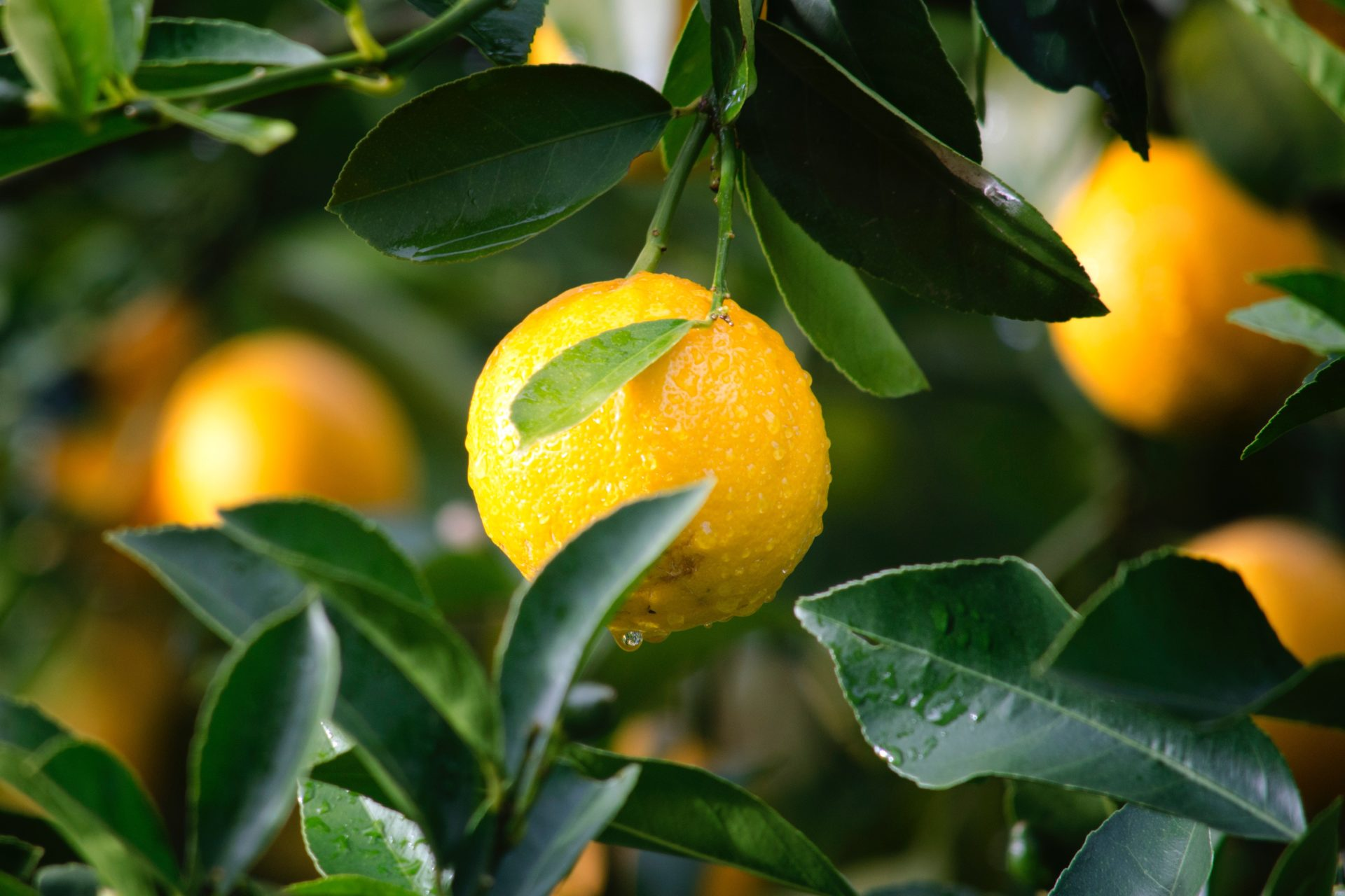 The new citrus levy will ensure both the long-term competitiveness of the industry and the sustainable growth of black-owned citrus enterprises. Photo: Supplied