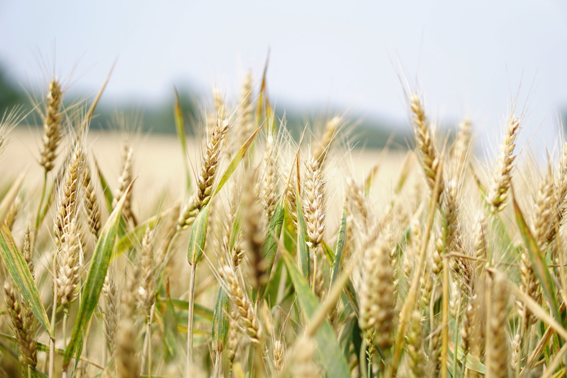 A FarmSol partnership with South African Breweries has allowed close to a thousand smallholder farmers across South Africa access to a multinational market for malting barley, hops and non-genetically modified maize. Pexels Image