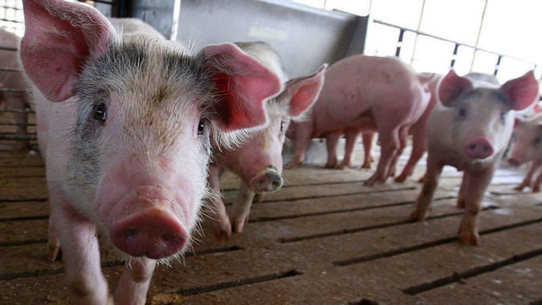 A feeding area of at least three meters wide is perfect for every two pigs. This is why pig farming is such a viable option for newbie farmers. Photo: Supplied