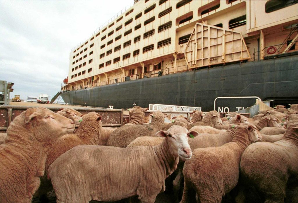 South African farmers and Kuwait-based Al Mawashi are involved in a court bid with the NSPCA to ban live animal exports fails. Photo: Supplied/Al Mawashi