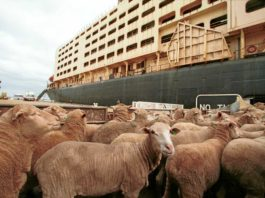 South Africa will not be impacted by New Zealand's permanent ban on live cattle exports by sea. Photo: Supplied/Al Mawashi