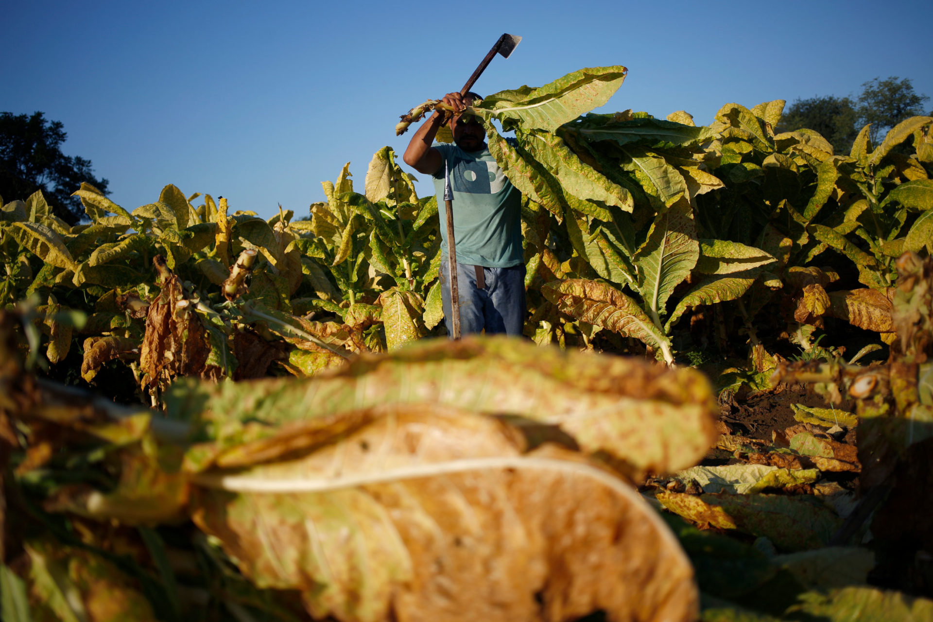 The illicit cigarette trade has already led to the demise of many tobacco farmers across South Africa. Photo: Supplied/Food For Mzansi
