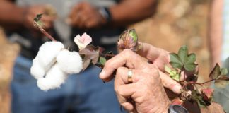 Cotton creates five jobs for every ton produced, thus having massive potential in South Africa and the rest of the continent. Photo: Sustainable Cotton Cluster