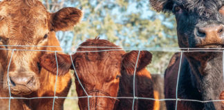 Thanks to the high value beef partnerships project, South African farmers will have a better chance at meeting exacting meat specifications. Photo: Pexels.