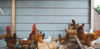 Fraudsters and scam artist are at it again, this time posing as agricultural suppliers in the poultry industry. Photo: Unsplash.