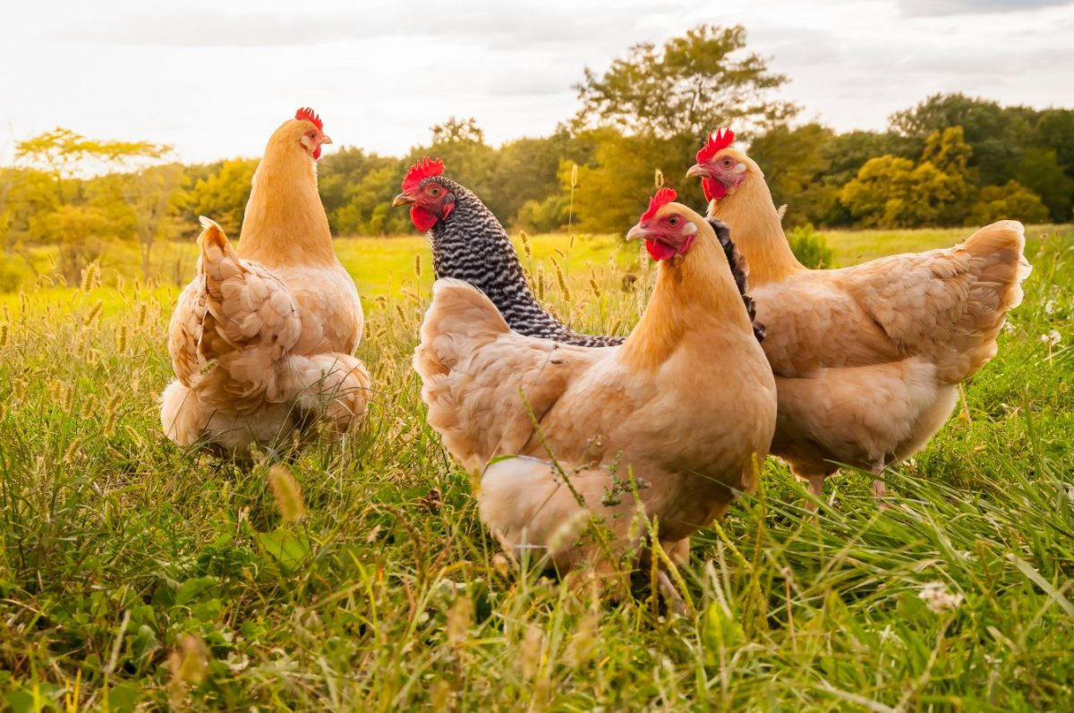 Here are 8 steps to starting your own chicken farming enterprise