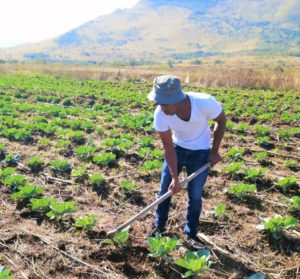 Bongani Zulu planted 30 000 cabbages on 3.5 hectares without a real market in place. Photo: Supplied.
