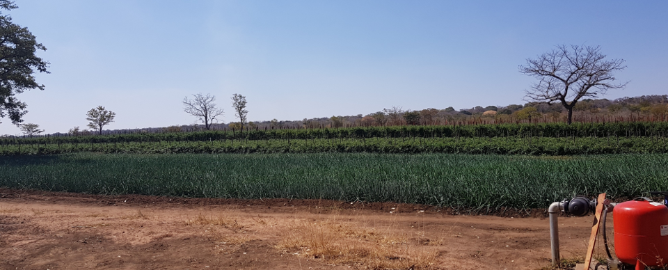 Lisela Farms project has achieved great success with its onion and tomoto plantings in Sesheke on the banks of the Zambezi River in Zambia. Photo: Supplied