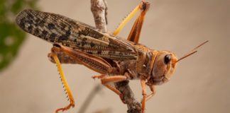 The brown locust is mostly found in the semi-arid Karoo region of the Northern Cape. Photo: Supplied/Food For Mzansi