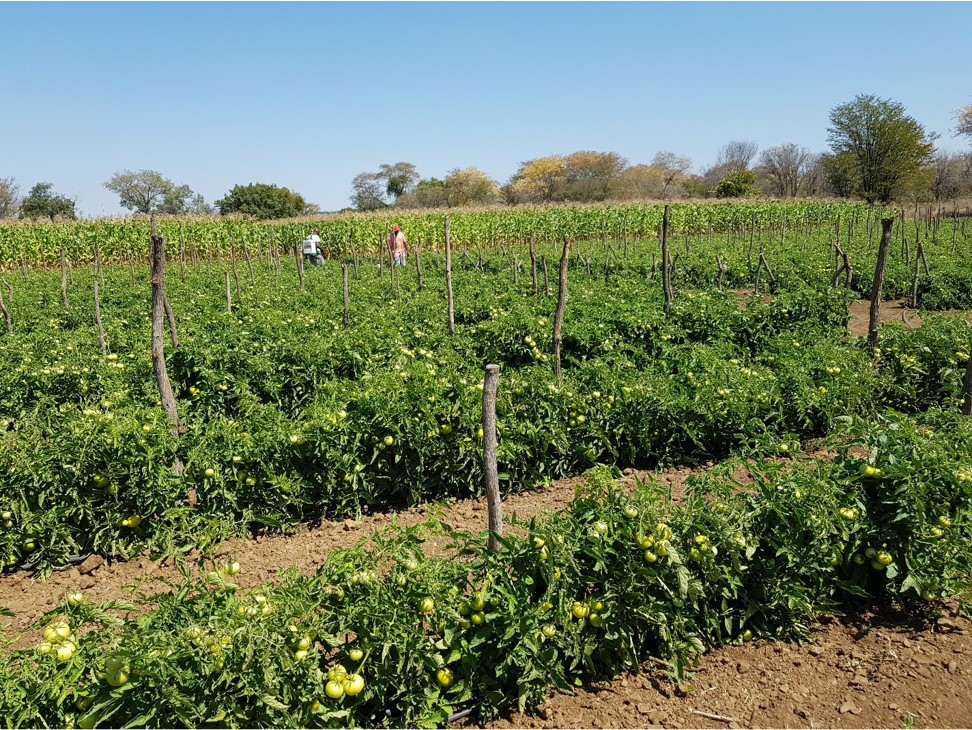 Through the support of AgricultSURE this tomato farming operation at Liseli Farms in Zambia is booming. Photo: Supplied