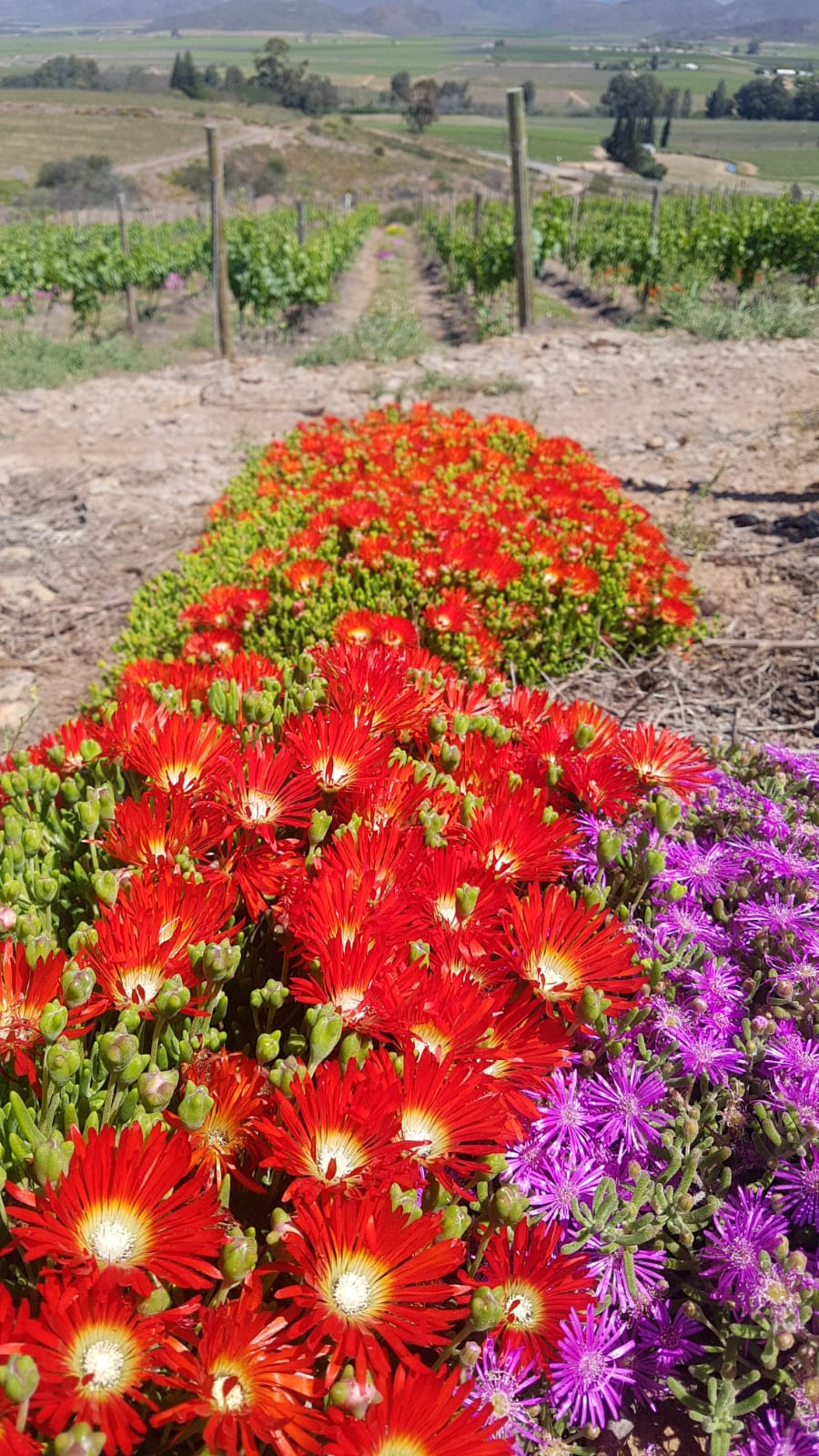 The symbiotic relationship between viticulture and the world-famous Cape Floral Kingdom is illustrated on various of wine farms that are members of the WWF Conservation Champions programme. Photo: Supplied