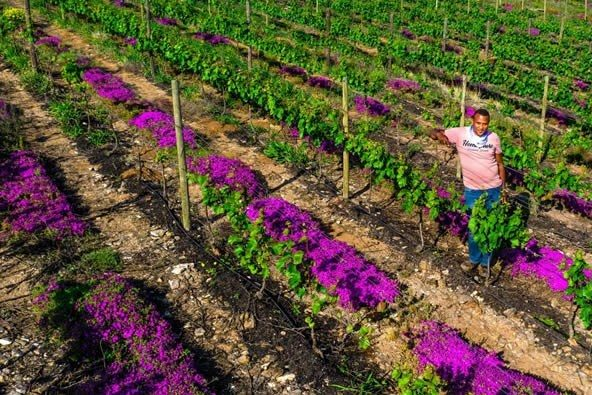 kingdom, Cape wine farmers might just be sitting with the most unique cover-crops in the world. Photo: Supplied
