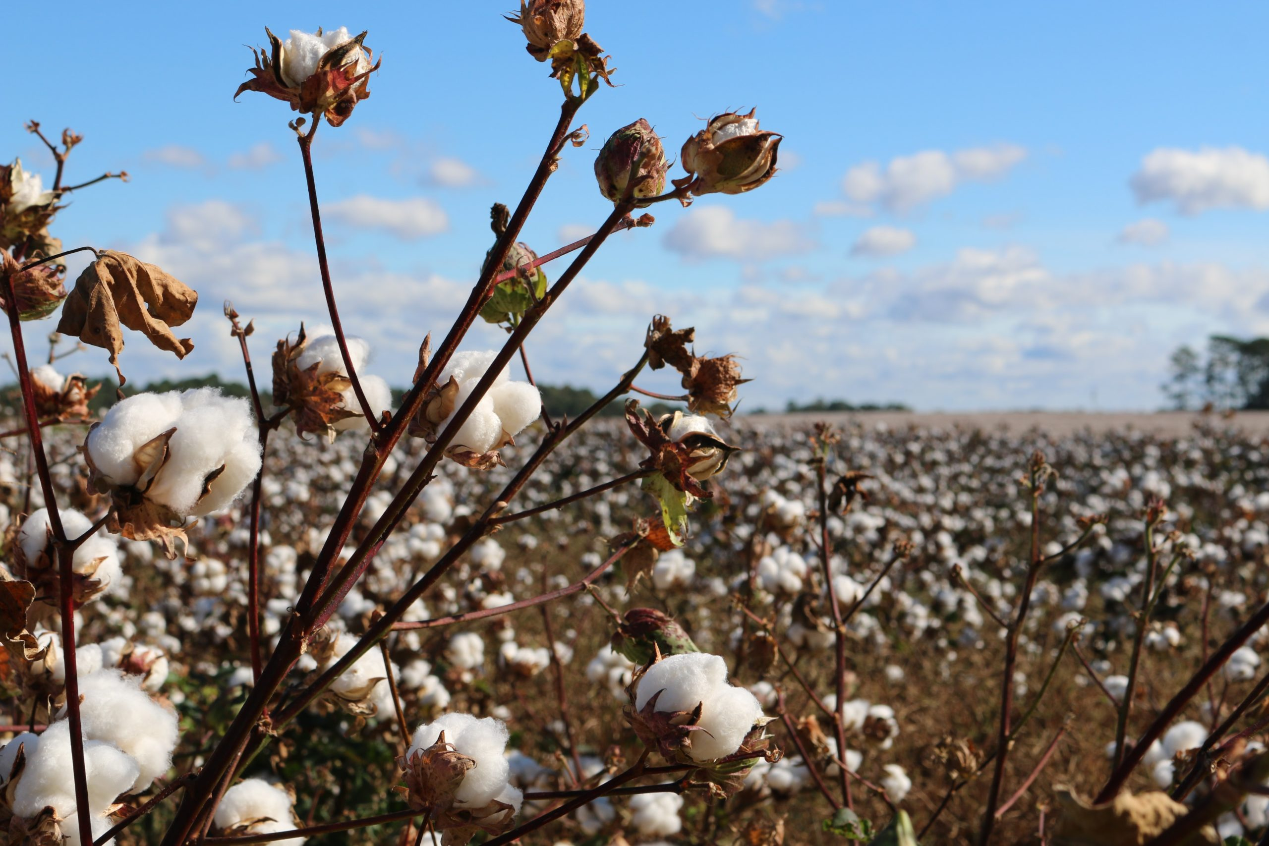Register to attend the international World Cotton Day webinar hosted by Cotton South Africa. Photo: Unsplash.