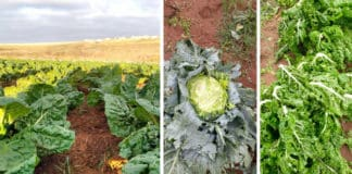 Pictured is a before and after look at crops from Jay Jay Farming in Mthatha, where a disastrous tornado made landfall this week. Photo: Supplied.