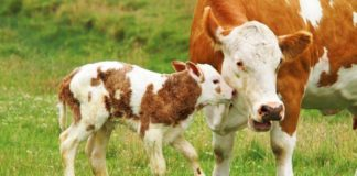 Bovine brucellosis is transmittable to humans and can cause infertility, reduced milk production, miscarriage or birth, complications and weak joints. Photo: Supplied