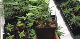 The cannabis industry in Mzansi has the potential to position itself as the saviour of the poor with ample job creation avenues to explore, argue experts. Photo: Supplied