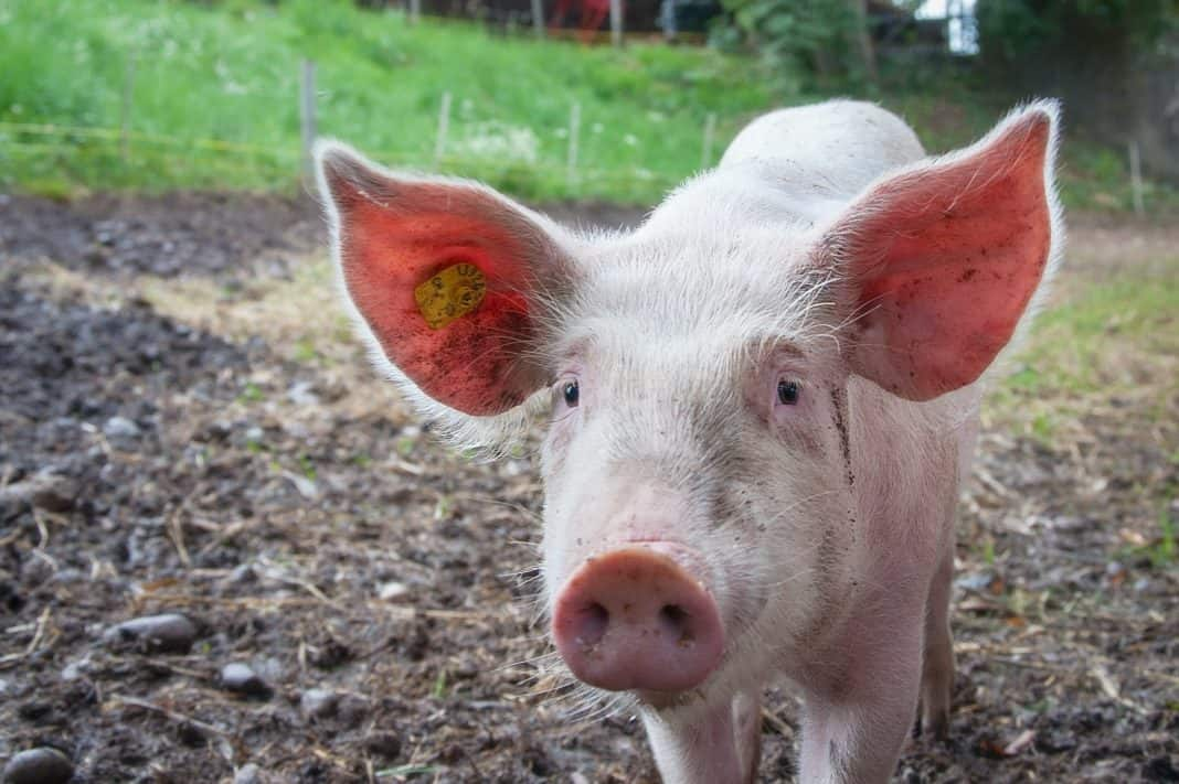 A minor outbreak of African swine fever was detected in the herd of two smallholder farmers in the Western Cape. Photo: Supplied/Food For Mzansi