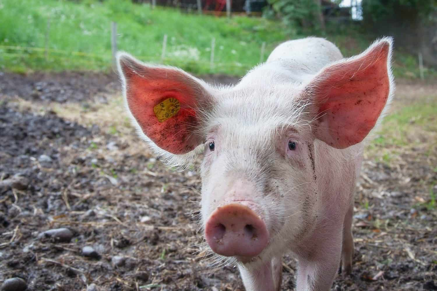 Authorities are concerned about African swine fever outbreaks in North West and the Western Cape. Photo: Supplied/Food For Mzansi