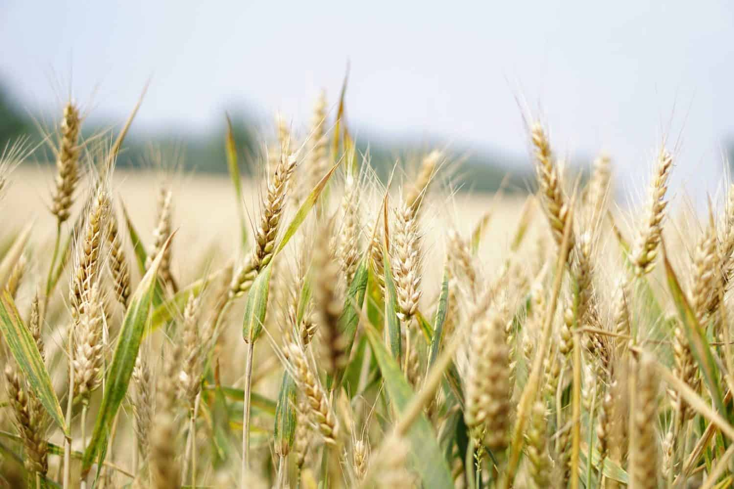South Africa's grain and oil seed projections for the 2020-2021 marketing season suggests that Mzansi is well on its way to reaching grain self-sufficient status. Photo: Pexels