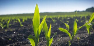 Studies show that there are 2,500 billion tons of carbon in soil, compared with 800 billion tons in the atmosphere and 560 billion tons in plant and animal life. Healthier soil can store even more. Healthy plants with good roots capture further carbon from the atmosphere.