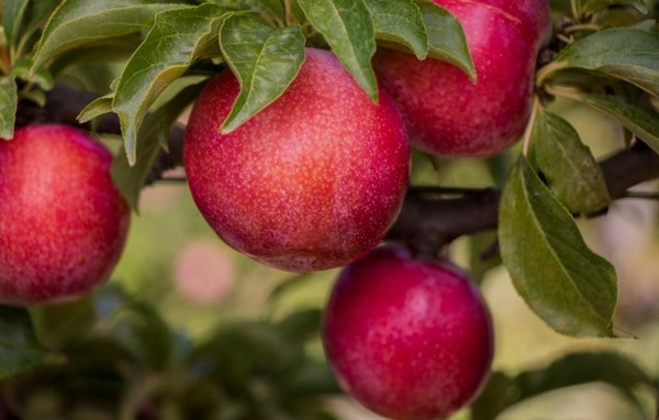 Culdevco added a fifth plum cultivar, namely Flavour Star, to its four commercial plum cultivars. Photo: Supplied