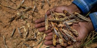 People from across the country have been requested to urgently report the visibility of locusts infamous for voraciously feeding on agricultural crops, trees and other plants. Experts warn these locusts can potentially devastate crops and grasses grown for both people and livestock. Photo: Supplied